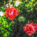 Small photo of Capture of roses