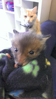 Teeny baby fox and Toby