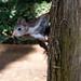 La ardilla roja ( Sciurus vulgaris )