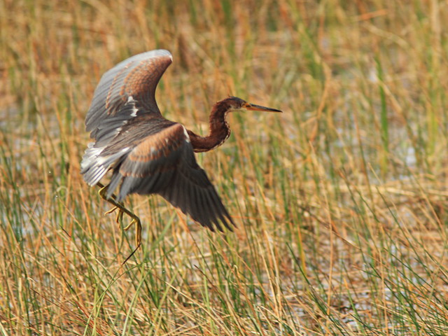 Tricolored Heron immature in flight 20141118