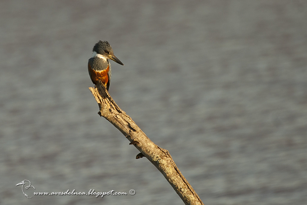 Martín pescador grande (Ringed Kingfisher) Megaceryle torquata
