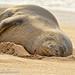 Haupu the Hawaiian Monk Seal