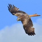 DSC_5499 Red Kite