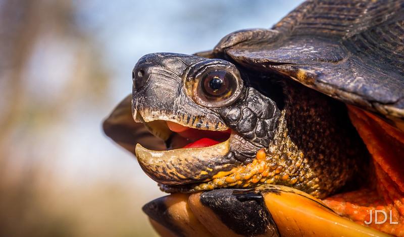 Wood Turtle - Glyptemys insculpta (female)
