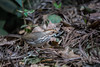 Puff Throated Babbler