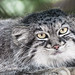 Small photo of Manul