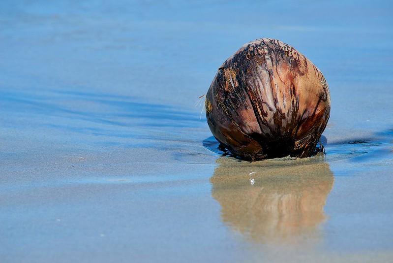 Coconut- Manuel Antonio National Park