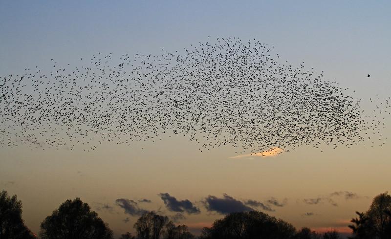 .Starling 4 - Fen Drayton RSPB