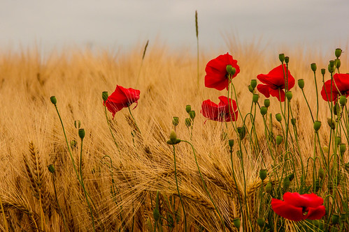 Summer dance of wheat and poppies