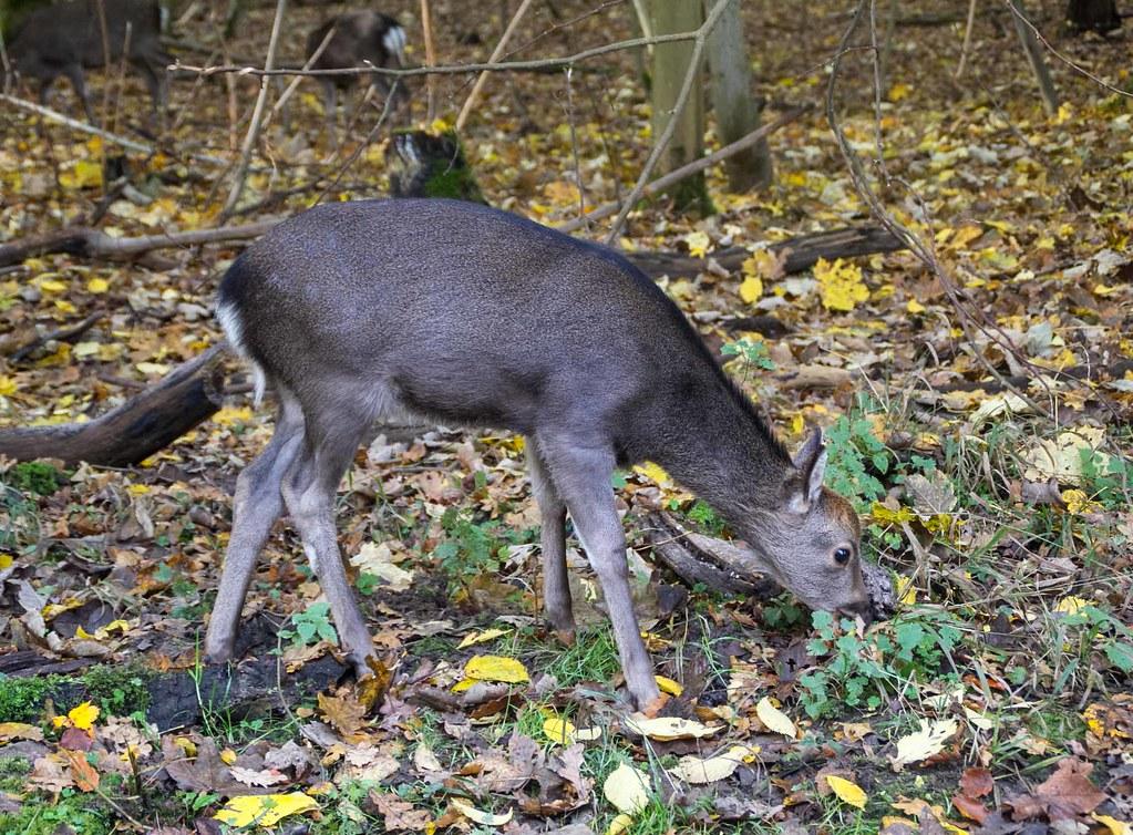 Fallow Deer, Denmark