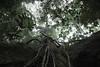 Ulin tree