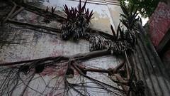 Várias bromélias, mortas e vivas #casaraodavarzea #natureza #nature #bromelias #asesalamaleiko #asè #nzambibanda #nzambi