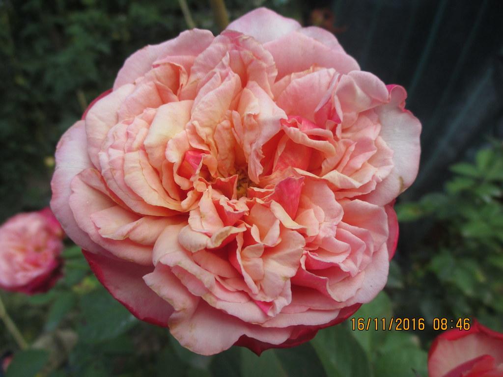 Hoa hong ngoai Kordes Jubilee (5)