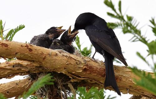 dicrurusadsimilis forktaileddrongo gaborone gabarone botswana nest chick