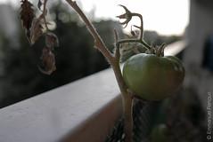 Dernière tomate de l'année