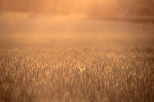 morning summer mist nature beautiful field misty fog sunrise suomi finland dawn countryside finnland wheat country foggy crop finlandia フィンランド finlande finlândia finnország finlanda finlàndia финляндия finnishsummer finnlando فنلندا