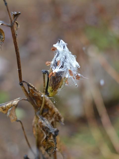 soggy milkweed