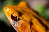 Bicolored Frog