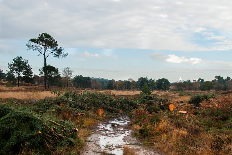 Conservation work has re-starated on Canford Heath