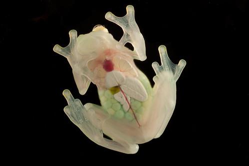 <i>Hyalinobatrachium aureoguttatum</i> Rana de cristal del sol ♀
