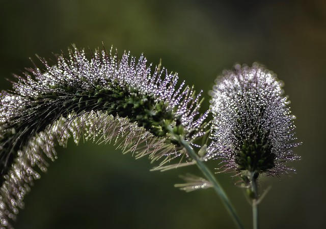 Morning Dew on Foxtail