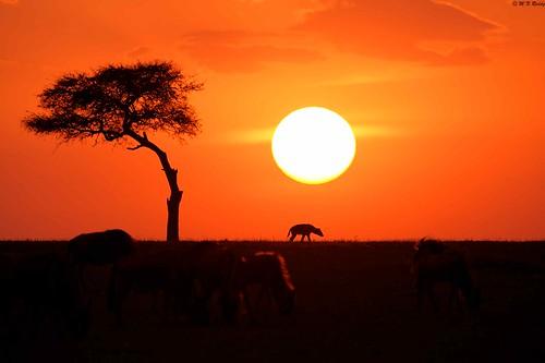 kenya africanwildlife masaimaranationalpark sunsettinginmasaimarahyenawildebeests
