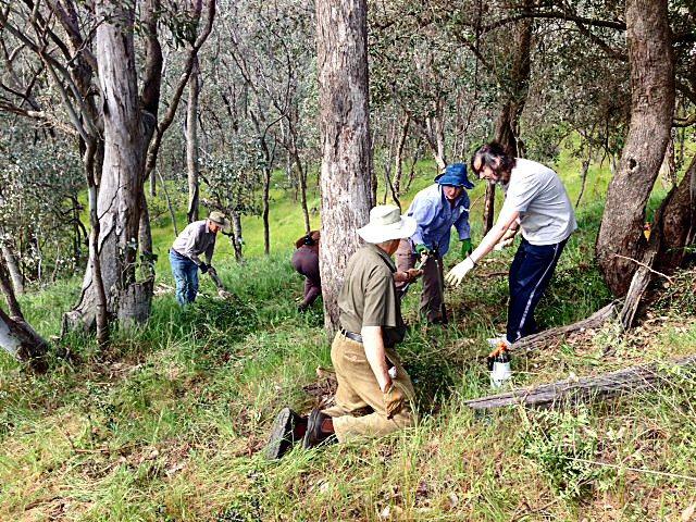 Olives weeding