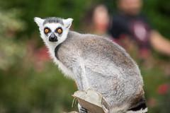 animal, mammal, fauna, lemur,