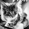 Kitten Drama