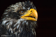 Eagle Portrait - Nikon 1 V3 & AF-S VR 70-300mm