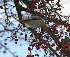 Bohemian Waxwing, Bombycilla garrulus, Hibbing Minnesota, Photo by Wes - Recent Uploads tagged hibbingminnesota