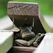 Green Pond Frog 1
