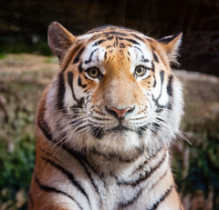 Tiger Closeup by subtrahierer