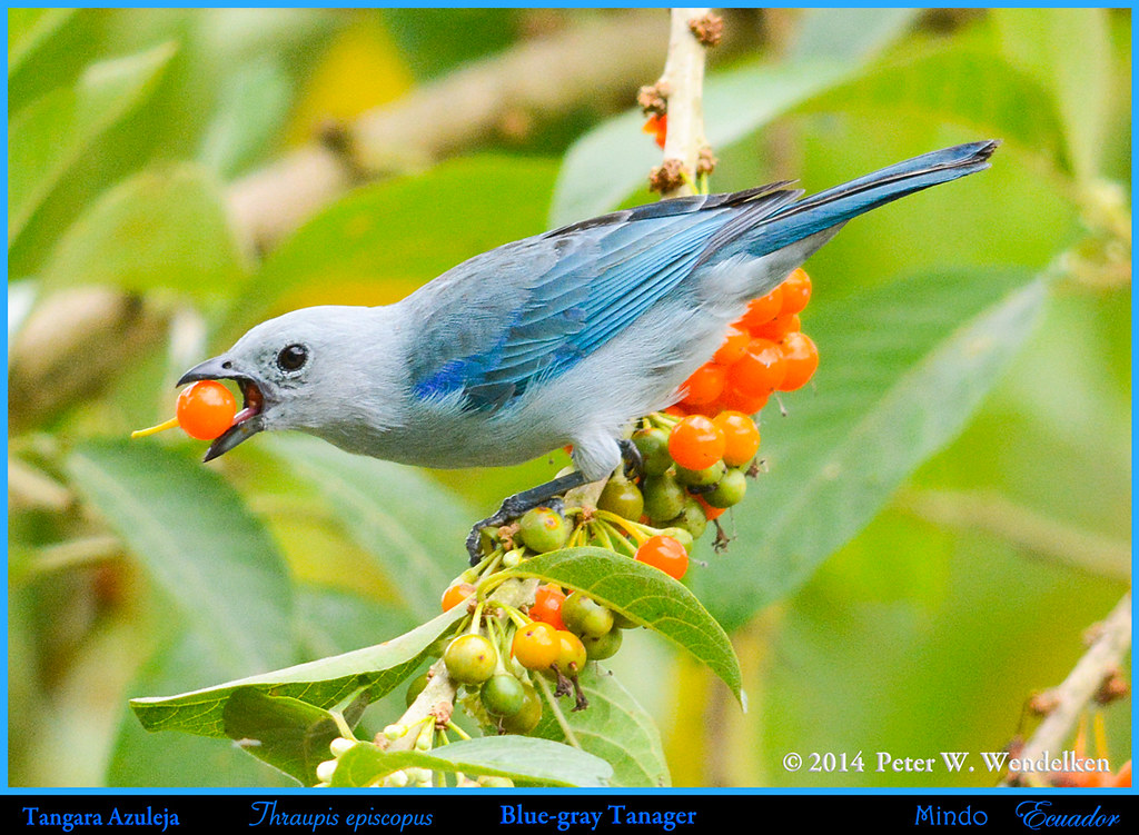 BLUE-GRAY TANAGER Thraupis episcopus Eating Orange Fruit in a Tree in Mindo in Northwestern ECUADOR. Tanager Photo by Peter Wendelken.