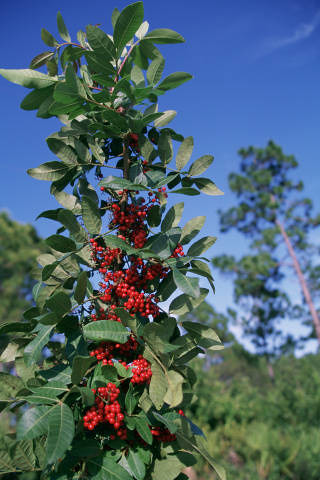 Brazilian_pepper_USFWS