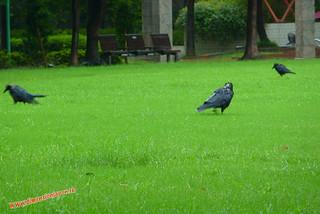 P1060478 Cuervos vaca  (Fukuoka) 12-07-2010 copia