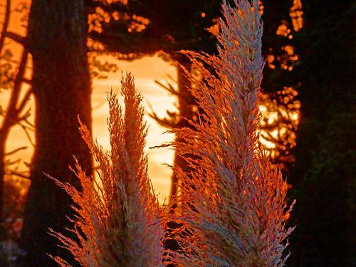 california sunset santacruz pampasgrass pacificcoast californiacoast californiastatepark