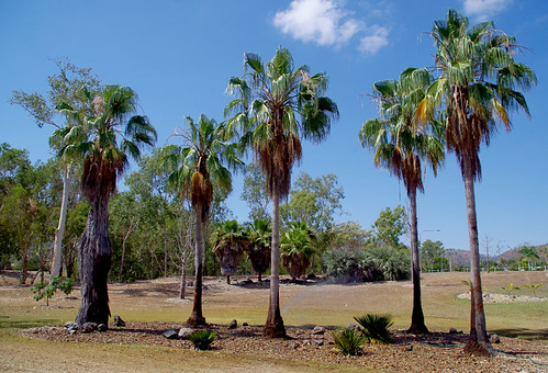 Washingtonia robusta, Palmetum, Townsville, QLD, 29/10/14