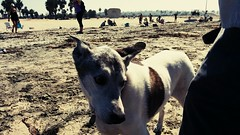 First time at the #oceanbeachdogbeach for #gizmo. Afraid of sand, seaweed, tide, and other dogs. I raised a whimp.