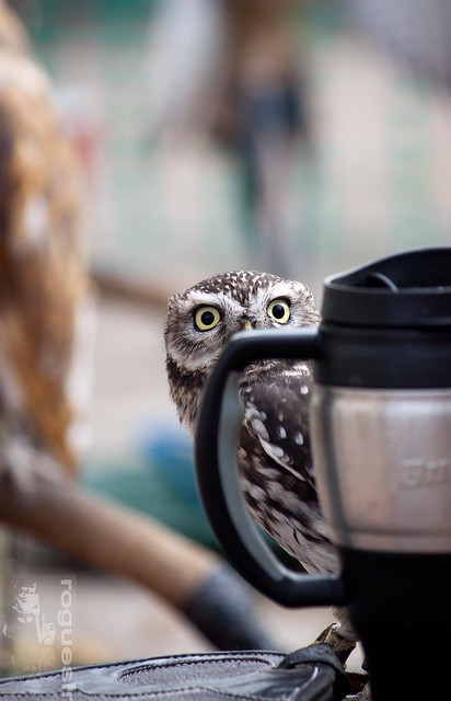 Little Owl cappuccino