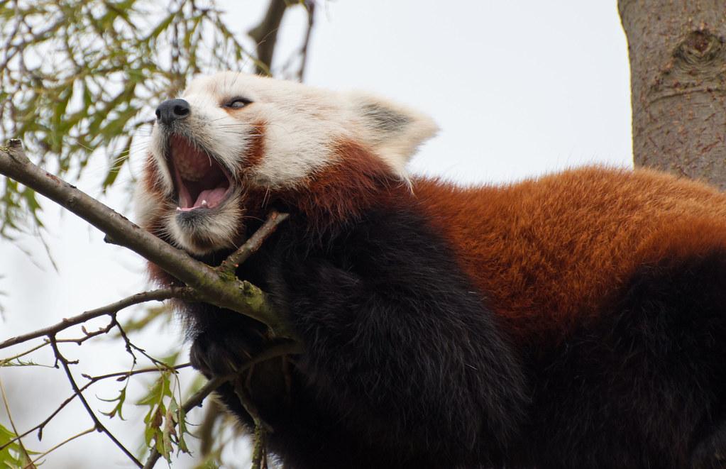 Red Panda Yawn 2