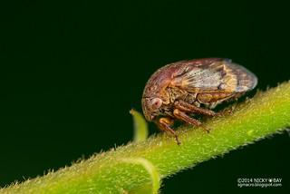 Treehopper (Gargara sp.) - DSC_8191
