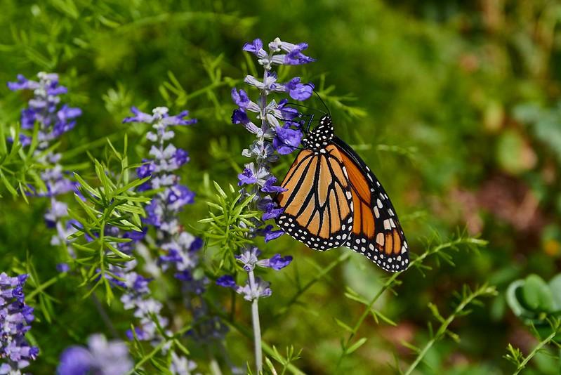 Butterfly - Phoenix