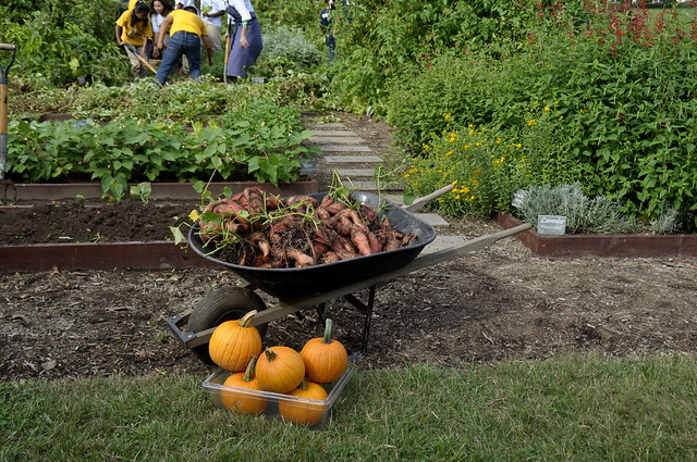 A wheelbarrow full of harvested sweet potatoes sits in the White House garden.