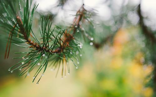 nature pinetree bokeh depthoffield dew pacificnorthwest washingtonstate canoneos5dmarkiii sigma35mmf14dghsmart