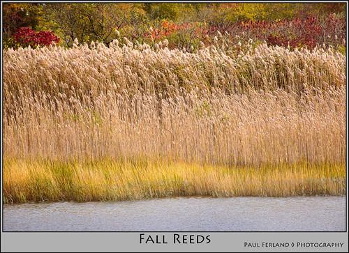 ri reeds unitedstates rhodeisland portsmouth phragmites fallseason mogrify nikond7100 nikon18140lens townpondrestoration