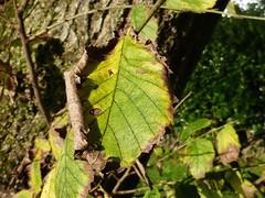 Autumn leaves in closeup 1