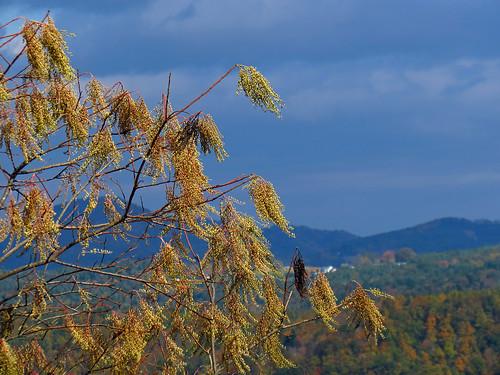 plant landscape northcarolina ericaceae botany blueridgeparkway westernnorthcarolina sourwood oxydendrumarboreum southernappalachians oxydendrum canonpowershotsx40hs