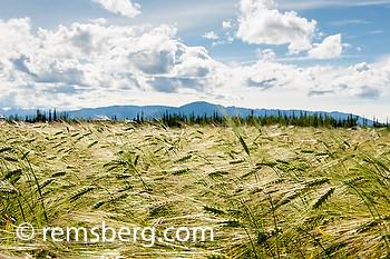 Field of barley (Hordeum vulgare)