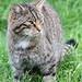 Scottish Wildcat - British Wildlife Centre